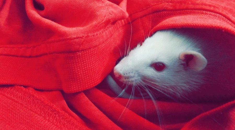 Nous prendrait-on pour des souris blanches?